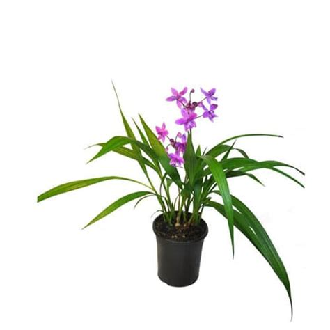 beli disini anggrek tanah mini bunga ungu murah ibad garden