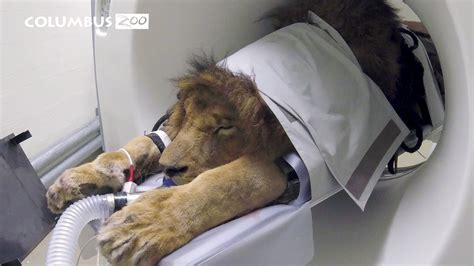 big cat   cat scan  veterinarians investigate lion