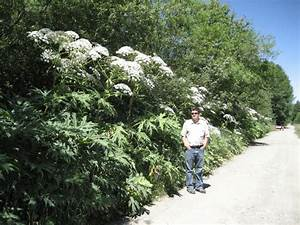 Giant Hogweed | Invasive Species Council of British ...