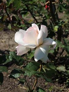 Growing Roses, How to Grow Care for Rose Bushes