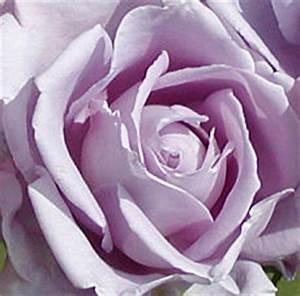 Mainzer Fastnacht Rose : rosa mainzer fastnacht rose ~ Orissabook.com Haus und Dekorationen