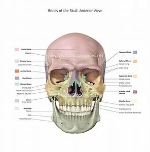 Stock Image Of Bones Of The Skull With Colour Labels