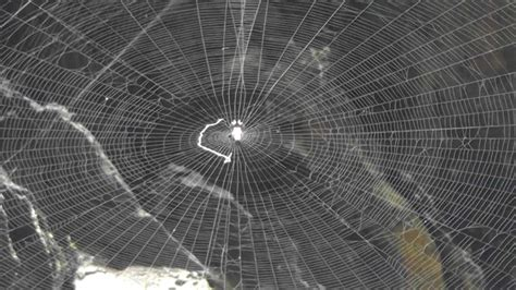 Bid Web Japan Spider Web Order Araneae