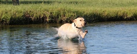 texas retriever training  gun dogs puppies labrador