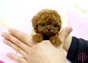 royal teacup puppies custom made cruelty at its best