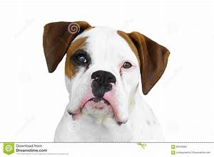 Boxer Dog Head Vector Illustration | CartoonDealer.com ...
