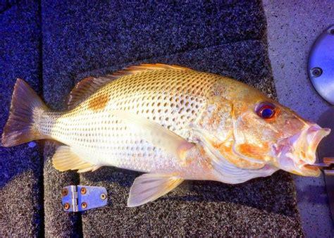 fingermark snapper golden fishing editor