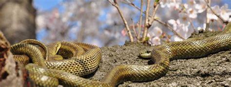 Schleichende Gefahr  Schlangen In Japan Japandigest