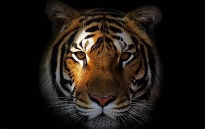 Tiger Face Wallpapers Desktop Animal Laptop Cool