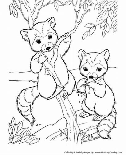 Coloring Pages Raccoon Wild Animal Face Animals