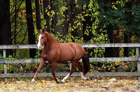 horse quarter american breeds running brown most popular pic animals wallpapers hdnicewallpapers scoop inside
