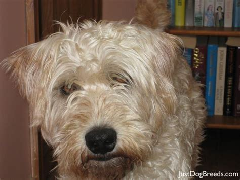 wheaten terrier mix shedding 17 best images about papillon briard on