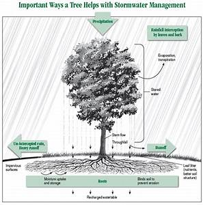 Trees Tame Stormwater