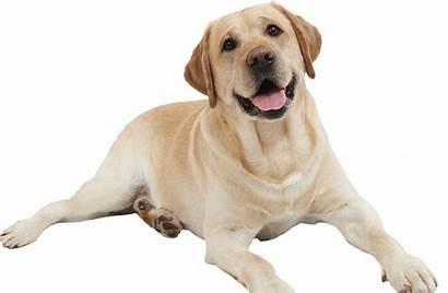 Labrador Retriever Dogs Perro Dog Transparent Perros