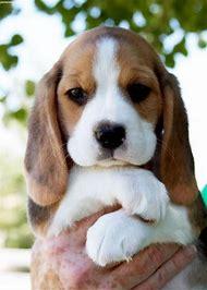 Cutest Beagle Puppy