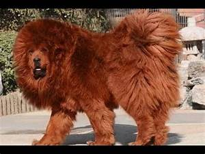 Top 10 strongest dog breeds in the world 2018 Update ...