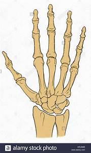 Wrist Bones Stock Photos  U0026 Wrist Bones Stock Images