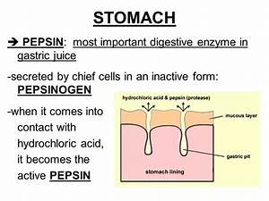 What Happens To Pepsin When It Enters The Duodenum