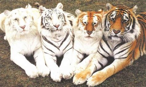 Wwf India Save The Tiger Beautiful Rainbows Save$$$