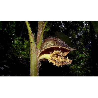 File:Bactris sp. Arecaceae Atlantic forest northern