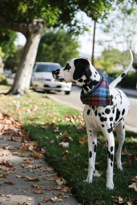 diy dog bandanas   stylish pooch
