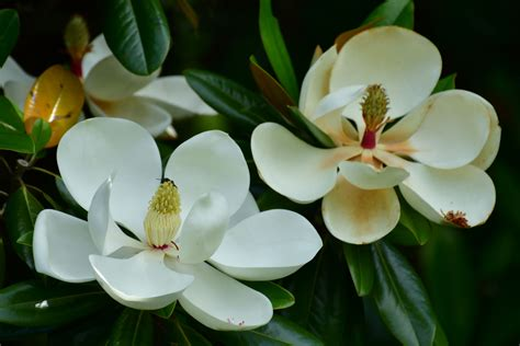 southern magnolia leaves  turn yellow