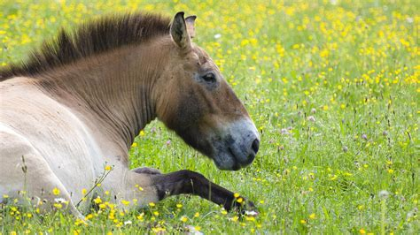 horses lying down horse przewalski standing sleep animals both grass field eat leaves mammals przewalskis bark plants well