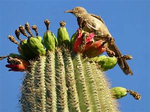 Curved-Bill Thrasher on Saguaro Cactus in Phoenix, AZ ...