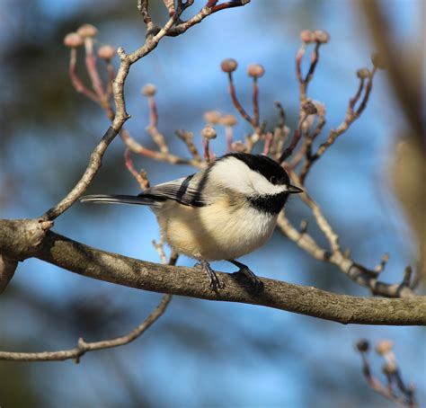 listening in nature hybrid chickadees music from the