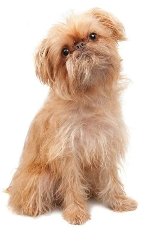 do brussels griffon shed a lot top 10 smallest breeds in the world omg top tens