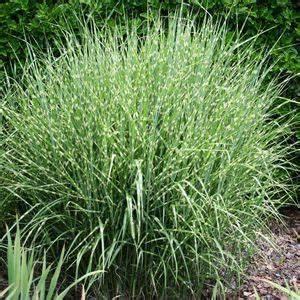 Miscanthus Sinensis Strictus : miscanthus sinensis strictus sandy 39 s plants ~ Michelbontemps.com Haus und Dekorationen