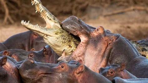 Hippo Kills Crocodile Video