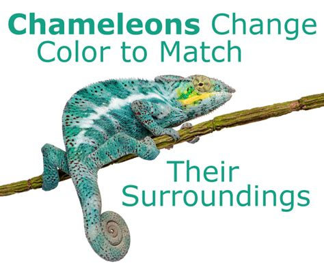 do change color chameleons change color to match their surroundings don