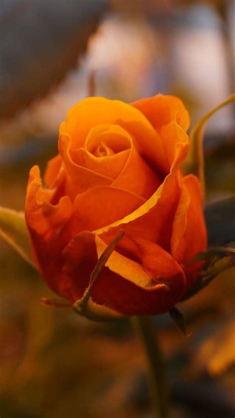 Wallpaper Rose, 5k, 4k Wallpaper, Flowers, Yellow, Nature