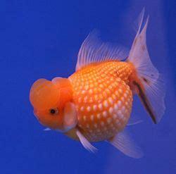 goldfish  world encyclopedia