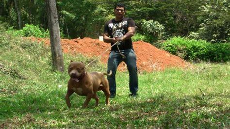 american pitbull terrier youtube