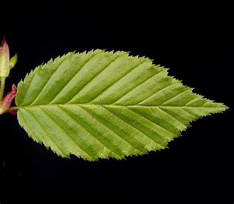 hainbuche carpinus betulus carpinus betulus hainbuche pflanzen in deutschland