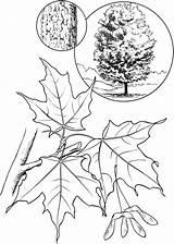 Maple Coloring Tree Leaf Sugar Pages Printable Colorings Getcolorings sketch template