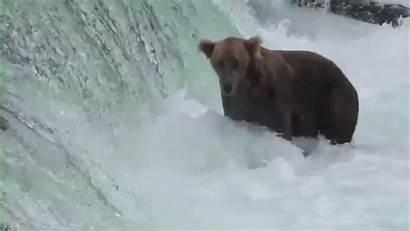 Alaskan Bears Reality Become Stars Courtesy