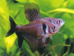 Black Phantom Tetra Care Guide - Fishkeeping Advice