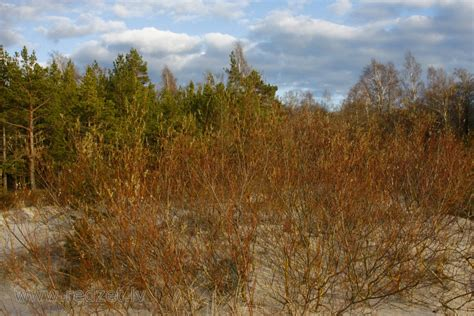 Sarkanais plūškoks - Sarkanais plūškoks (Sambucus racemosa) - redzet.eu