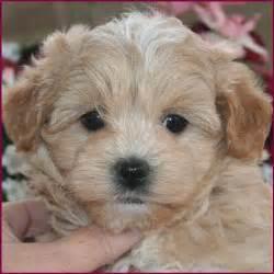 Dog Maltipoo Puppies