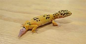 what to do if your leopard gecko losses its tail