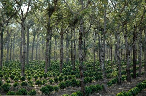 Can coffee become the world?s first 100 percent sustainable agricultural product?   Public Radio