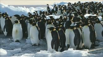 penguin huddle secrets revealed with time lapse footage