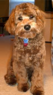 Best Lap Dogs That Dont Shed by Cockapoo Grooming On Pinterest Dog Grooming Styles