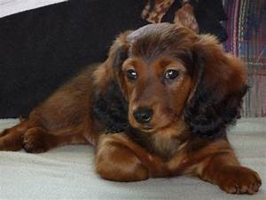 Red Long Haired Dachshund Puppies Pictures Dogs And