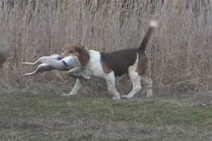 Beagle hunting, Beagles and Hunting on Pinterest