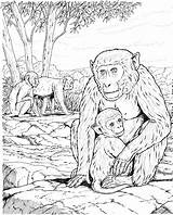 Coloring Monkey Pages Baby Realistic Monkeys Apes Adult Adults Colouring Gorilla Animal Animals Primate Moms Zoo Dover Popular Template Coloringbay sketch template
