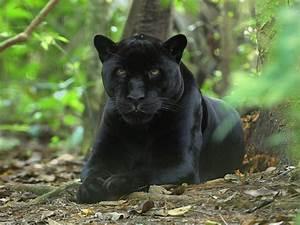 Panther/Black L... Black Panther